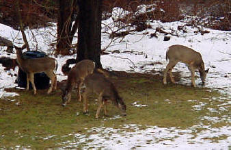 Deer in a Habitat Improvemet Area